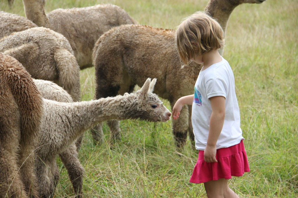 The baby alpaca is curious about Anna